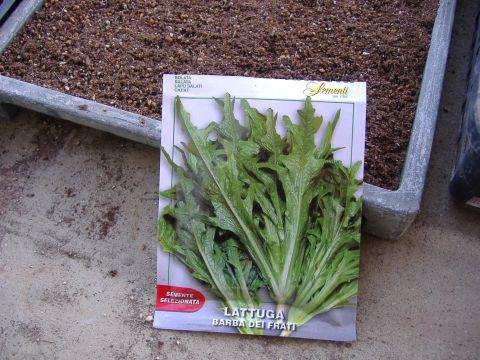 イタリアレタス播種