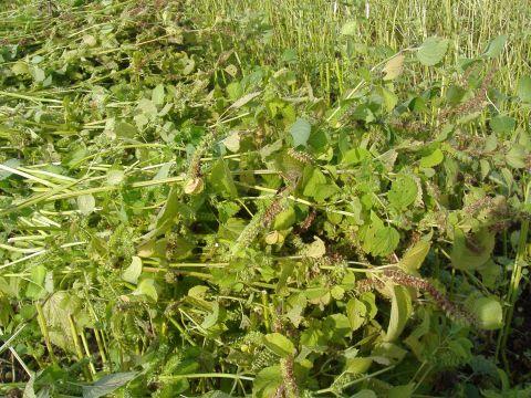 荏胡麻収穫