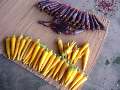 イタリアレタス収穫
