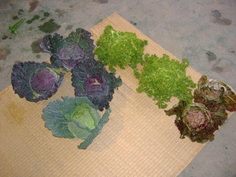 葉物各種収穫