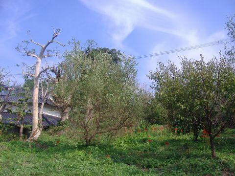 オリーブ収穫前