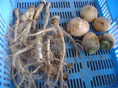 サルシファイ、ルタバガ収穫