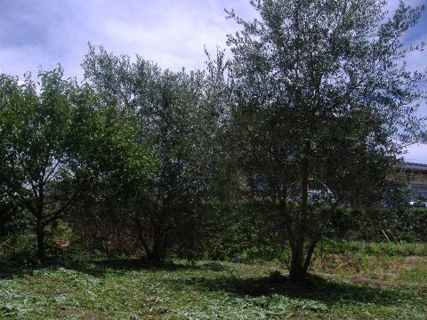 オリーブ草刈
