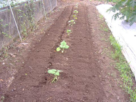 トロンボンチーノ定植