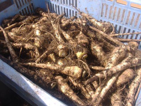 パースニップ収穫