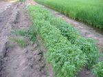 芽摘み バジル