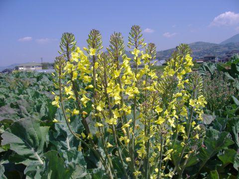ロマネスコ開花