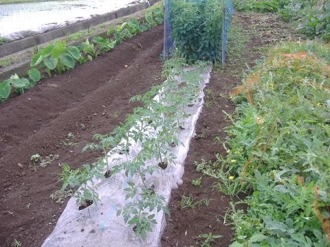 トマト定植
