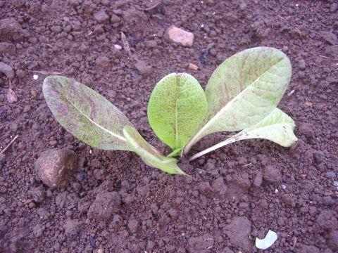 カリフラワー&チコリ定植