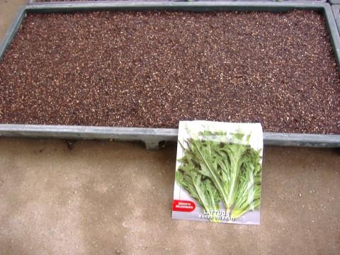 レタス&ホウズキ種蒔き
