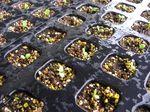 種まきから移植 レタス